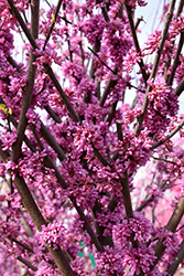 Alley Cat Redbud (Cercis canadensis 'Alley Cat') at Valley View Farms