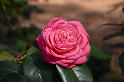 Japanese Camellia (Camellia japonica) at Valley View Farms