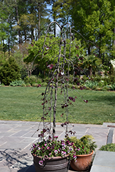 Ruby Falls Redbud (Cercis canadensis 'Ruby Falls') at Valley View Farms
