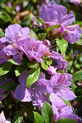 Encore® Autumn Lilac™ Azalea (Rhododendron 'Robles') at Valley View Farms