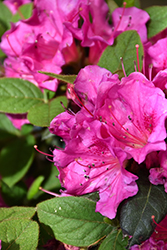 Encore® Autumn Amethyst™ Azalea (Rhododendron 'Conlee') at Valley View Farms