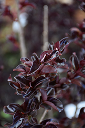 Ebony Embers Crapemyrtle (Lagerstroemia 'Ebony Embers') at Valley View Farms