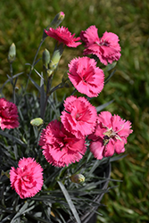 Scent First® Eternity Pinks (Dianthus 'WP05 PP22') at Valley View Farms