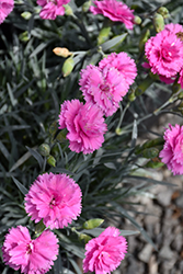 Scent First® Tickled Pink Pinks (Dianthus 'Devon PP11') at Valley View Farms