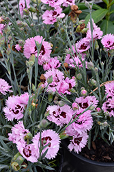 Early Bird™ Fizzy Pinks (Dianthus 'Wp08 Ver03') at Valley View Farms