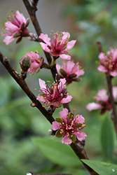 Red Gold Nectarine (Prunus persica 'Red Gold') at Valley View Farms