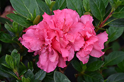 Bloom-A-Thon® Pink Double Azalea (Rhododendron 'RLH1-2P8') at Valley View Farms