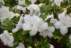 Encore® Autumn Angel™ Azalea (Rhododendron 'Robleg') at Valley View Farms
