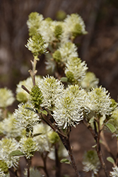 Mt. Airy Fothergilla (Fothergilla major 'Mt. Airy') at Valley View Farms