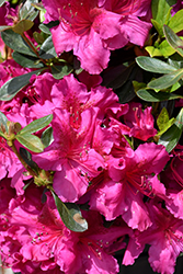 Girard's Fuchsia Evergreen Azalea (Rhododendron 'Girard's Fuchsia') at Valley View Farms
