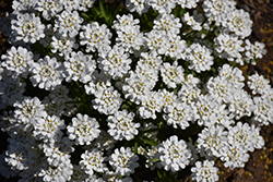Whiteout Candytuft (Iberis sempervirens 'Whiteout') at Valley View Farms