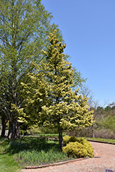 Cripps Gold Falsecypress (Chamaecyparis obtusa 'Crippsii') at Valley View Farms
