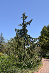 Weeping Nootka Cypress (Chamaecyparis nootkatensis 'Pendula') at Valley View Farms
