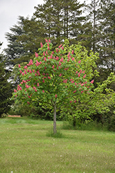 Fort McNair Red Horse Chestnut (Aesculus x carnea 'Fort McNair') at Valley View Farms