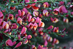 Burkwood's Broom (Cytisus x burkwoodii) at Valley View Farms