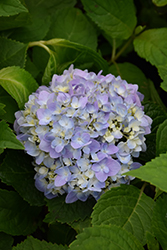 Let's Dance® Moonlight Hydrangea (Hydrangea macrophylla 'Robert') at Valley View Farms