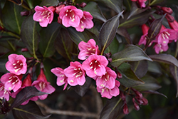 Wine and Roses® Weigela (Weigela florida 'Alexandra') at Valley View Farms