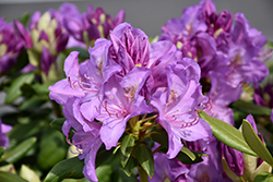 Boursault Rhododendron (Rhododendron catawbiense 'Boursault') at Valley View Farms