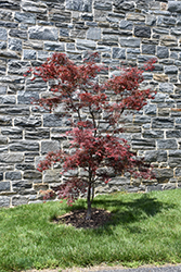 Red Spider Japanese Maple (Acer palmatum 'Red Spider') at Valley View Farms
