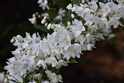 Slender Deutzia (Deutzia gracilis) at Valley View Farms