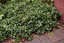 Himalayan Sweet Box (Sarcococca hookeriana) at Valley View Farms