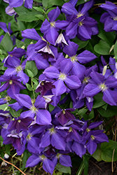 Jackmanii Clematis (Clematis x jackmanii) at Valley View Farms