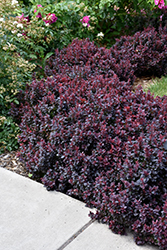 Concorde Japanese Barberry (Berberis thunbergii 'Concorde') at Valley View Farms