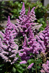 Little Vision In Purple Chinese Astilbe (Astilbe chinensis 'Little Vision In Purple') at Valley View Farms