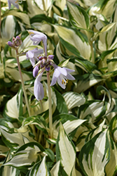 Loyalist Hosta (Hosta 'Loyalist') at Valley View Farms