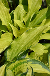 Island Breeze Hosta (Hosta 'Island Breeze') at Valley View Farms