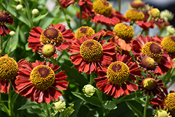 Mariachi™ Salsa Sneezeweed (Helenium autumnale 'Salsa') at Valley View Farms