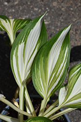 Cool As A Cucumber Hosta (Hosta 'Cool As A Cucumber') at Valley View Farms