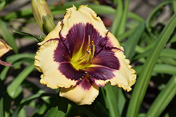 Blackthorne Daylily (Hemerocallis 'Blackthorne') at Valley View Farms