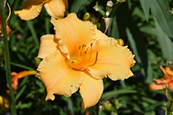 Happy Ever Appster® Apricot Sparkles Daylily (Hemerocallis 'Apricot Sparkles') at Valley View Farms