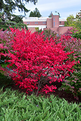 Compact Winged Burning Bush (Euonymus alatus 'Compactus') at Valley View Farms