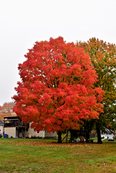 Green Mountain Sugar Maple (Acer saccharum 'Green Mountain') at Valley View Farms