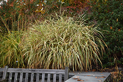 Dixieland Maiden Grass (Miscanthus sinensis 'Dixieland') at Valley View Farms