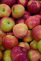 Macoun Apple (Malus 'Macoun') at Valley View Farms