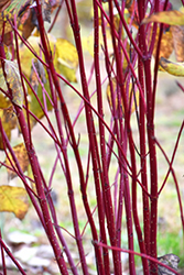 Red Osier Dogwood (Cornus sericea) at Valley View Farms