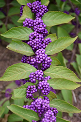 Purple Beautyberry (Callicarpa dichotoma) at Valley View Farms
