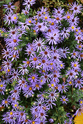 Raydon's Favorite Aster (Aster oblongifolius 'Raydon's Favorite') at Valley View Farms