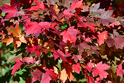 Redpointe Red Maple (Acer rubrum 'Redpointe') at Valley View Farms
