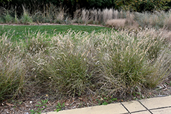Karley Rose Oriental Fountain Grass (Pennisetum orientale 'Karley Rose') at Valley View Farms