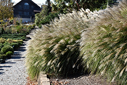 Gracillimus Maiden Grass (Miscanthus sinensis 'Gracillimus') at Valley View Farms