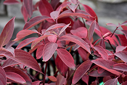 Arctic Fire® Red Twig Dogwood (Cornus sericea 'Farrow') at Valley View Farms