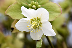 Josef Lemper Hellebore (Helleborus niger 'Josef Lemper') at Valley View Farms