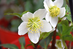 Gold Collection® Jacob Hellebore (Helleborus niger 'Jacob') at Valley View Farms