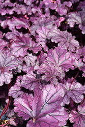 Forever® Purple Coral Bells (Heuchera 'Forever Purple') at Valley View Farms