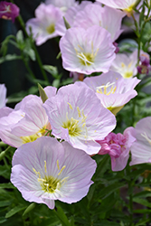 Siskiyou Mexican Evening Primrose (Oenothera berlandieri 'Siskiyou') at Valley View Farms