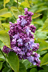 Katherine Havemeyer Lilac (Syringa vulgaris 'Katherine Havemeyer') at Valley View Farms